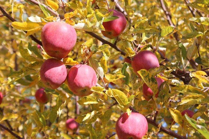 صادرات سیب به افغانستان